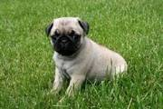 This pug puppy is ACA registered,  vet checked